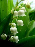 Las plantas ornamentales venenosas
