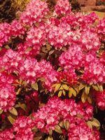 La temperatura para plantar rododendros