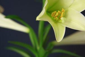 Datos de Pascua Lily