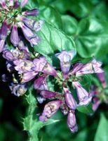 Las plantas perennes para Nebraska y Oklahoma