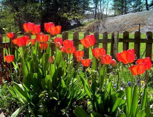 Guía del bulbo de la flor que plantan