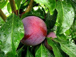 ¿Cuántos años tiene un árbol de ciruelo Antes de dar fruto?