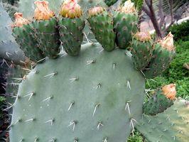 Plantas silvestres comestibles del Suroeste
