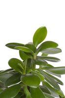 Las plantas de jade con las hojas amarillas