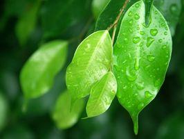 Cómo podar un Ficus Lyrata
