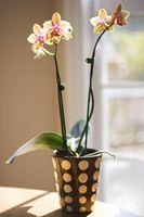 Cómo ajustar la orquídea Brotes