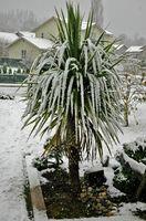 Cuando puedo dividir Cordyline Australis Evergreen palma plantas?