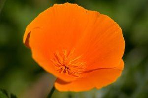 ¿Puede crecer la amapola de California Flores en plantadores?