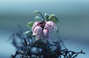 Las plantas que requieren suelos ácidos