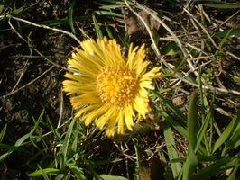 Las malas hierbas del césped comunes en el sur de Wisconsin