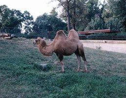 Cómo conseguir arrugas de las chaquetas de pelo del camello