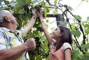 Las semillas de uva silvestre