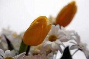 ¿Cuáles son las diferencias entre las margaritas y tulipanes?