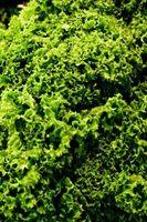 Las manchas necróticas en las hojas de la planta