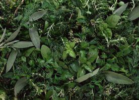 ¿Cuánto tiempo tengo Remojar la esponja por un jardín de hierbas de la Chia?