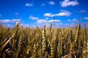 Las partes de una planta de trigo