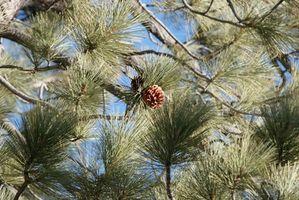 Árboles de pino nativo a Texas