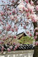La forma de reutilizar Magnolia madera de un árbol muerto