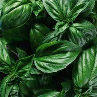 ¿Qué planta de albahaca es bueno utilizar como repelente de mosquitos?