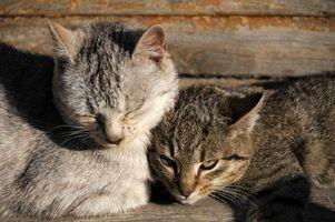 Cómo limpiar la orina del gato en un piso de madera dura