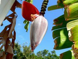 Cómo preparar Flores del plátano