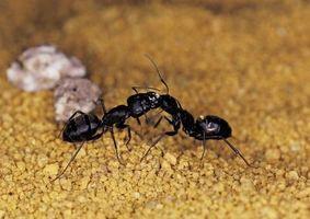 Las hormigas carpinteras en la Cámara