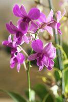 Cuáles son las causas del brote de gota de las orquídeas?