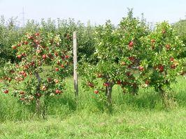 El mejor momento para podar los árboles de Apple