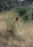 Las arañas de jardín como depredadores