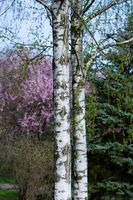 La importancia ecológica de los árboles de abedul blanco