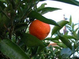 Cómo mantener a los insectos se come las hojas de un árbol de mandarina