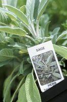 ¿Cómo hacer crecer Sage Con la harina de hueso