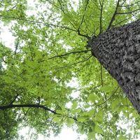 ¿Qué puede crecer bajo árboles de roble?
