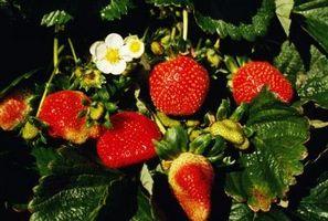 ¿Cuánto tiempo se tarda en crecer a partir de semillas Fresas?