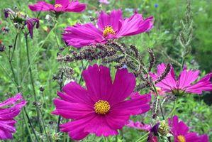 Cómo plantar las semillas Cosmos