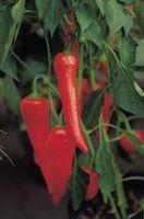 ¿Qué causa que se encrespa de hojas de pimienta caliente Plantas?