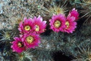 Características del cactus de erizo