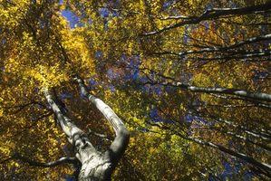 Los árboles ornamentales Haya