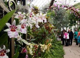 Cómo cultivar orquídeas Mokara