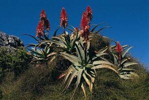 Las plantas de Aloe Vera con las hojas marrones