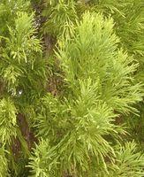 ¿Por qué los árboles de hoja perenne verde estadía en el invierno?