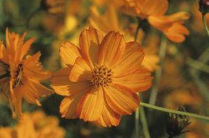 Cómo cuidar para Orange Cosmos