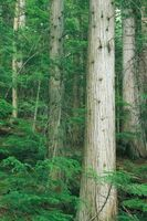 Corte de madera del cedro de la madera