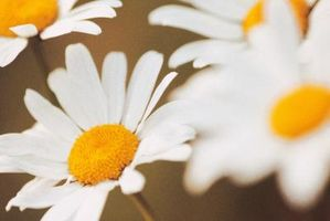 Lista de blancos flores perennes
