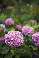 ¿Una planta de Hortensia Mantenga sus hojas Todo el año?