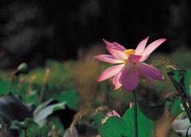 Cómo identificar una flor de loto