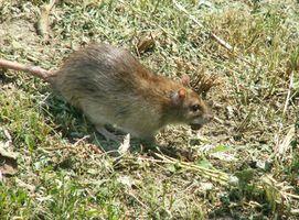 Maneras más seguras para matar ratas