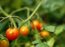 Enfermedades de las plantas de tomate con hojas manchadas negras
