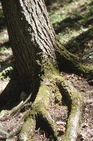 Crepe Myrtle Árbol problemas de raíz