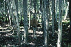 No ciervos se alimentan de plantas de fresa?